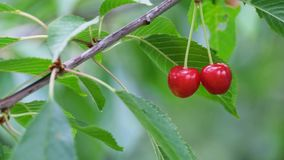 Two red ripe cherries. On a tree branch stock video footage