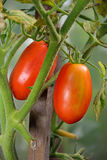 Two red ripe plum tomatoes on the Bush closeup in the greenhouse in the village of Vyritsa Sunny summer day Royalty Free Stock Photography