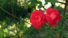 Two red rose-buds close up. Two red roses against the background of green leaves. Red roses blooming in the garden at. Summer. Outdoor rosary close up. Blurred stock footage