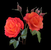 Two red  rose flowers isolated on black Royalty Free Stock Images
