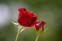 Two red roses Stock Images