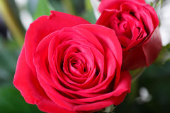 Two Red Roses close Stock Photo