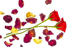Two red roses with dried petals. On a white background Royalty Free Stock Image
