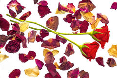 Two red roses with dried petals. On a white background Stock Photo