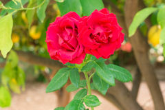 Two red roses in the garden Stock Image