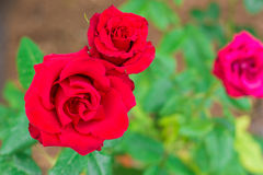Two red roses in the garden Royalty Free Stock Image