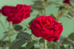 Two red roses isolated on a green background Stock Images