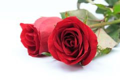 Two red roses isolated on white background Royalty Free Stock Images