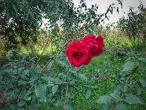 Two red roses royalty free stock photos