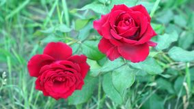 Two red roses among leaves stock video footage