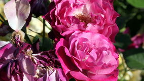 Two Red Roses Moving In Gentle Breeze stock video