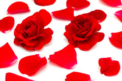 Two red roses and petals Royalty Free Stock Photos