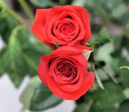 Two red roses side by side royalty free stock image
