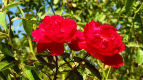 Two beautiful red roses for backgrounds stock images