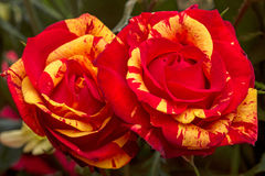 Two red roses with yellow. Closeup. Nature background Royalty Free Stock Photo
