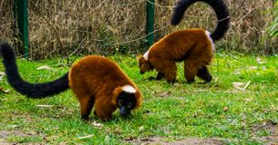 Two red ruffed lemurs walking together in the grass, portrait of critically endangered monkeys from Madagascar. Two red ruffed lemurs walking together in the royalty free stock photography