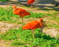 Two red scarlet ibis birds balancing on one leg cool composition royalty free stock photos