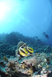 Two Red Sea bannerfish with scuba divers. Stock Photography