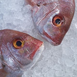 Two red sea bream fish heads in the ice Stock Images