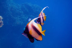 Two red sea pennant fish Royalty Free Stock Photography