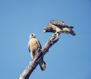 Two Red Shouldered Hawks Royalty Free Stock Images