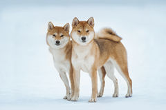 Two red siba inu dogs standing on the snow Stock Images