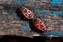 Two red soldier bug are scramble on a wooden table. Stock Photography