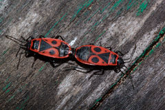 Two red soldier bug on a wooden table. Royalty Free Stock Photo