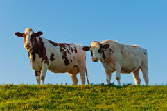 Two red spotted cows side by side Royalty Free Stock Image