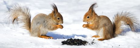 Two red squirel in the snow. Eating sunflower seeds Royalty Free Stock Image