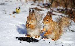 Two red squirel in the snow. Eating sunflower seeds Stock Photos