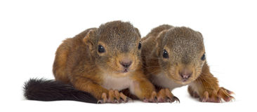 Two Red squirrel babies Royalty Free Stock Photography