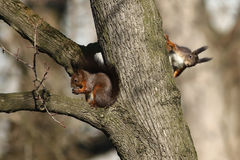 Two red squirrel Stock Photography