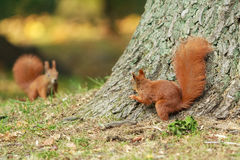 Two red squirrels. Two red squirrels look at each other royalty free stock image