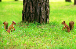 Two red squirrels. Stock Photos