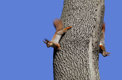 Two red squirrels play on tree Royalty Free Stock Photos