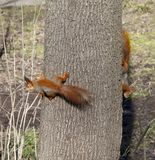 Two red squirrels on tree trunk Stock Photography