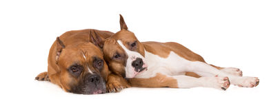 Two red staffordshire terrier dogs lying down on white. Staffordshire terrier dogs on white Stock Photography