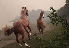 Two red stallions are fighting on a misty shore Royalty Free Stock Photography