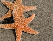 Two Red Starfish on Sand stock image