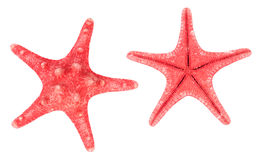 Two red starfishes Royalty Free Stock Photo