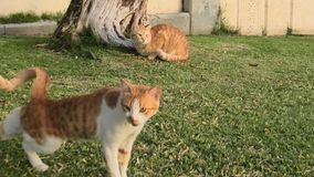 Red cats in the green grass. Two red stray cats with green eyes sitting in the green grass, miaowing stock video footage