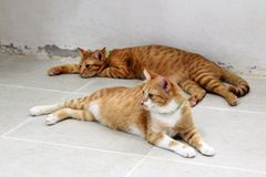 Two red tabby cats are resting on a floor in shelter for pets. Two red tabby cats are resting on a floor in the shelter for pets Stock Image
