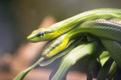 Two Red-tailed Green Ratsnakes Royalty Free Stock Photo
