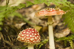 Two red toadstools Stock Photography