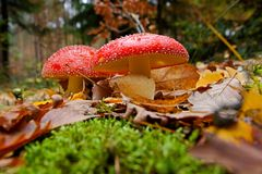 Two red toadstools Stock Photo