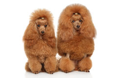 Two red toy poodle on white background Royalty Free Stock Photo