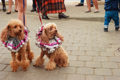 Two red trimmed cocker spaniel. Sitting on the sidewalk and looking in the direction of royalty free stock image