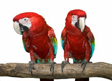 Two red tropical wild parrot. royalty free stock photography