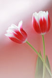Two red tulip bulbs Stock Photography